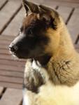 Portrait Isla Bonita du Territoire des Ours - Akita américain