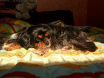 PHOEBE OF SEVIJEAN'S 11 ans - Cavalier King Charles (11 ans)