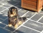 Bingo 4 ans - Cavalier King Charles (4 ans)