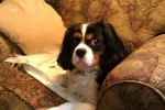 Peyton - Cavalier King Charles (2 ans et 3 mois)