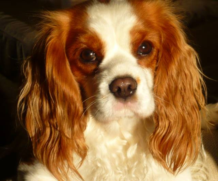 Brooke - Cavalier King Charles (4 ans)