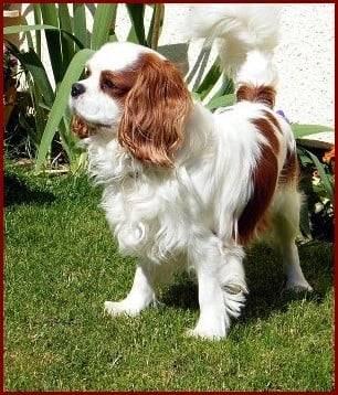 fraise - Cavalier King Charles (1 an)