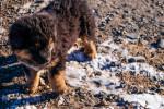Photo Bouvier de Bouriatie-Mongolie