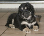 e'sangye - Dogue du Tibet Mâle (2 mois)