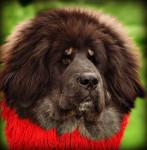 hakita - Dogue du Tibet (8 mois)
