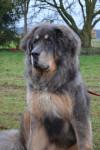 galaxy - Dogue du Tibet (1 an)