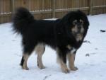 TeraBell - Dogue du Tibet (3 ans)