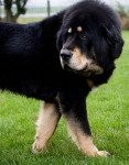 Dogue du Tibet - Dogue du Tibet