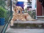 Dogue du Tibet : Damia - Dogue du Tibet
