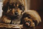 Photo Dogue du Tibet