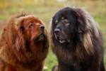 Deux Dogues du Tibet dans un jardin