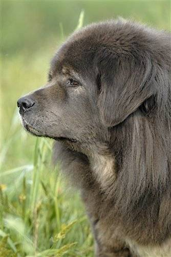 ASKA DE DZOGTCHEN - Dogue du Tibet