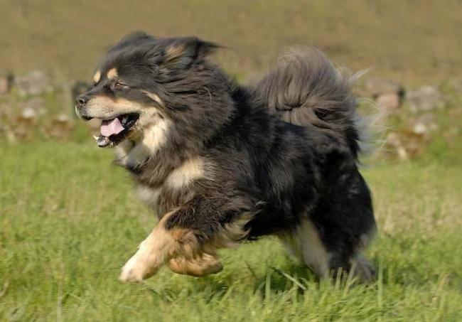 Udaïpour - Dogue du Tibet