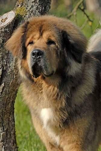 Ogurr - Dogue du Tibet