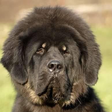 Zen - Dogue du Tibet