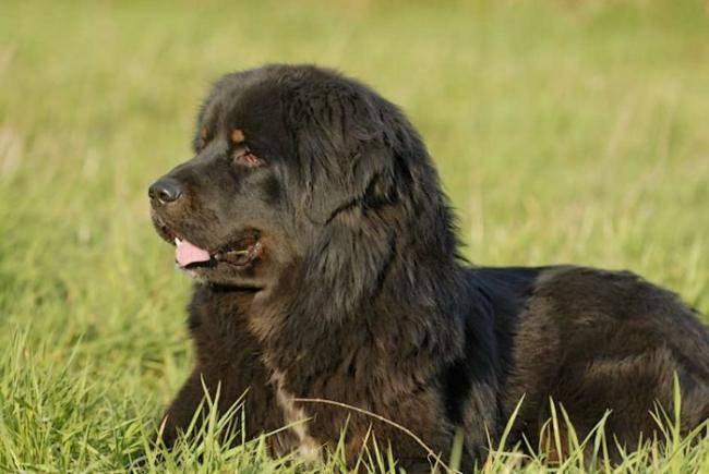 Quincy - Dogue du Tibet