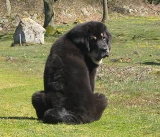Zodd - Dogue du Tibet Mâle (4 mois)