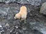 Nala - Labrador (11 ans)