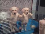 Crystale et Charly (bébés) - Labrador Mâle (2 mois)