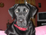 Boka - Labrador (3 ans)