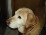Chien OKATA - Labrador Mâle (12 ans)