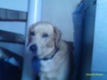 Chien mon chien labradore blond qui s\'appelle choco - Labrador  (Vient de naître)
