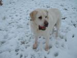 Chien Labrador TOM - Labrador  (Vient de naître)