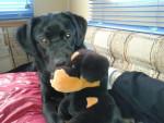Chien HARLAY - Labrador  (0 mois)