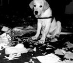 Chien Philippo Feliz - Labrador Mâle (2 mois)