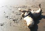 Chien Philippo Feliz - Labrador Mâle (10 mois)