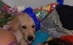 Chien Philippo Feliz - Labrador Mâle (3 mois)