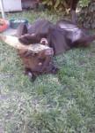 Chien Lola - Labrador Femelle (3 ans)