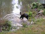 Chien titania - Labrador Femelle (2 ans)