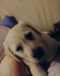 Nala - Labrador (3 mois)