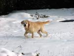 Photo Labrador