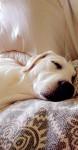 Ma Belle Nala - Labrador (7 mois)