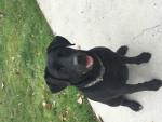 lexi - Labrador (4 ans)