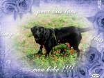 Chien timy - Labrador Mâle (1 an)