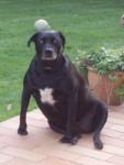 Bouba - Labrador (6 ans)