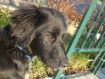 Nougat - Labrador (10 mois)