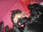 les chiots - Labrador Mâle (1 mois)
