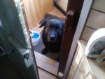 SAM - Labrador Mâle (8 ans)