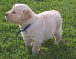 lulu - Labrador Mâle (3 mois)