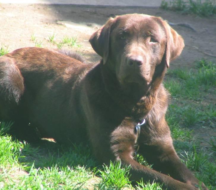 zazou - Labrador Mâle (1 an)