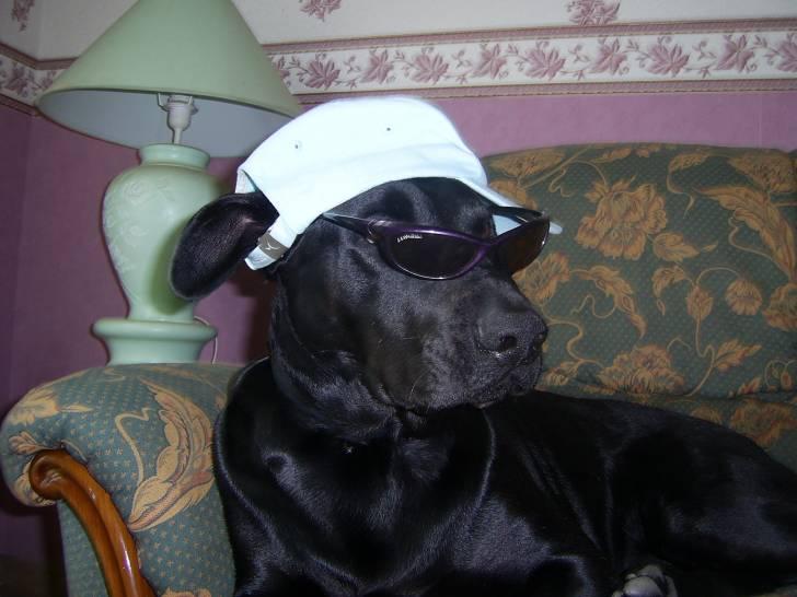voyou - Labrador Mâle (5 ans)