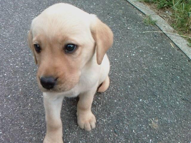 vanille - Labrador (1 an)