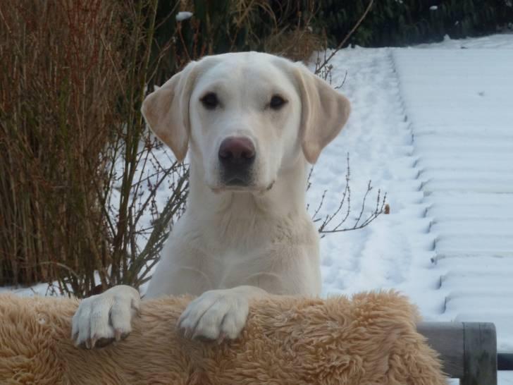 Phelia Abby - Labrador (1 an)