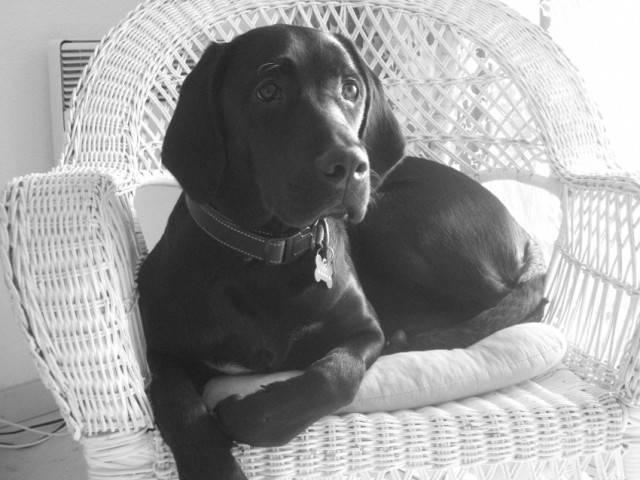 Oopi - Labrador (2 ans)