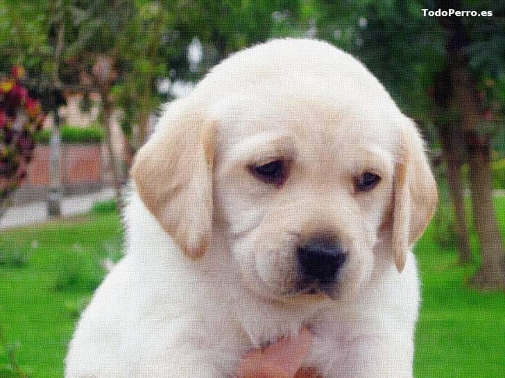 katty - Labrador (5 mois)