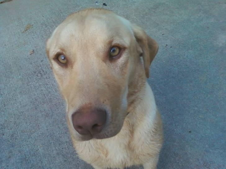 Sage, A Registered Lab - Labrador (6 mois)